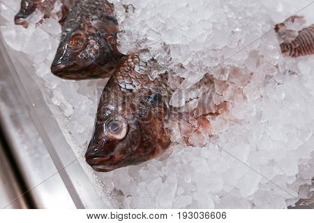 fresh Nile tilapia Cichlidae fish cover with ice in market
