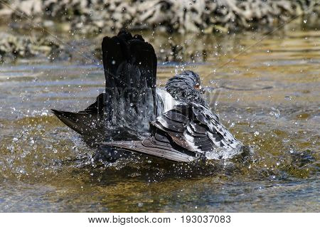 A feral pigeon taking a vigorous bath in water
