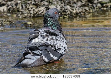 A feral pigeon taking a bath in water poster