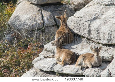 family of goats sunbathing on the rocks in Torcal, Spain