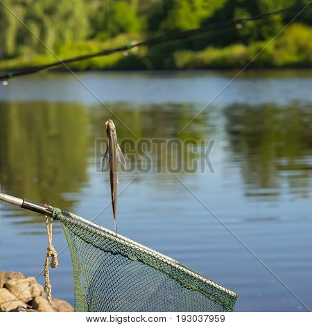 Caught fish just taken from the water on the fishing line over at landing net against the natural square background of landscape with outdoor water. Concepts luck, fortune, case, success, active rest, hobbies, countryside relaks
