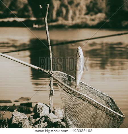 Vintage toned caught fish, Pelecus cultratus, sabre carp, sabrefish, over a fishing net, fishing background. Concepts luck, fortune, case, countryside relaks