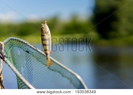 Close-up of Bright perch just taken from water on fish-hook with Worm on a fishing line, old used torn fish net. Concept luck, fortune, case, finance, investment, success, active rest, hobbies, countryside relaks. Copy Space, for natural background
