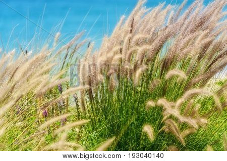 Live sea oats with a soft focus along the coast of Cabo San Lucas Mexico