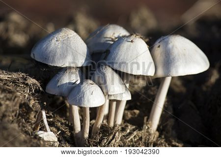 Close-up of small white mushrooms growing from dung