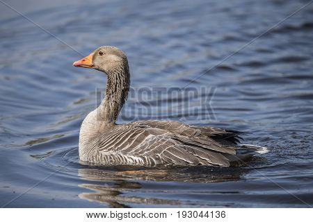 Greylag Goose On A Loch, Close Up