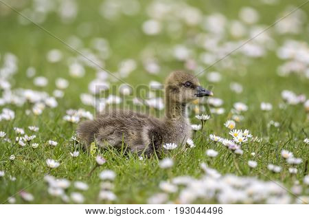 Gosling On The Grass, Close Up