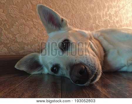 White dog suffering from summer heat, laying on the cold floor, focus at nose