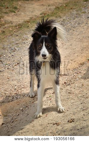 Border collie, cute dog on raw background