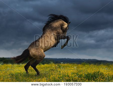 Purebred Andalusian horse rear on blossoming meadow with dramatic overcast skies