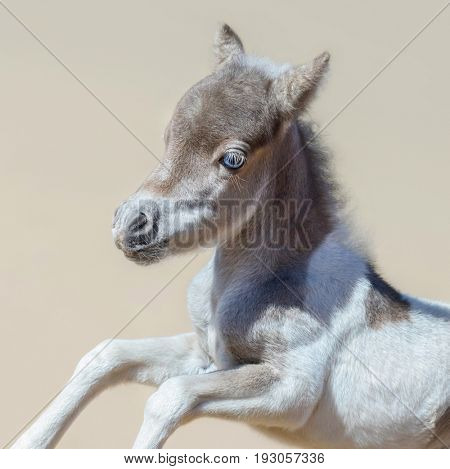 Pinto newly born foal in motion. American miniature horse. Square composition.