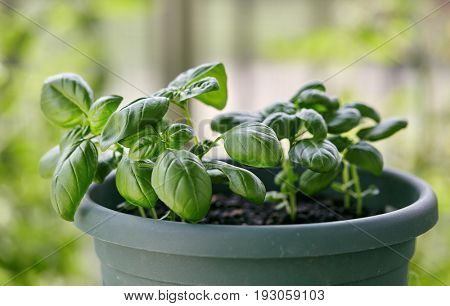 Potted Basil Plant. Basil herb plant growing on balcony.