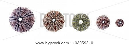 Sea urchin skeletons or shells of various sizes lined up and isolated on white background