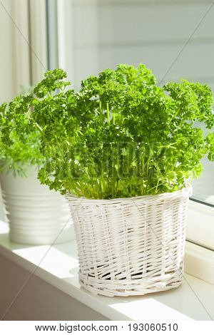 fresh parsley herb in white pot on window