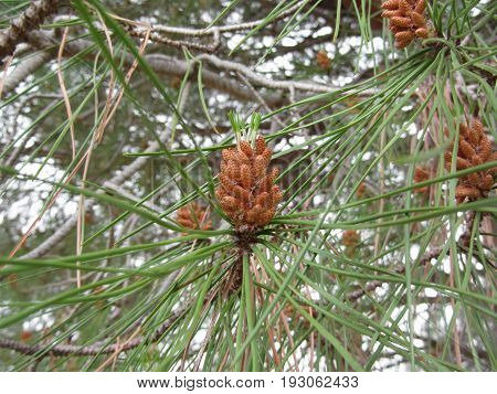 Immature male or pollen cones of pine tree . Conifer cones . Tuscany Italy
