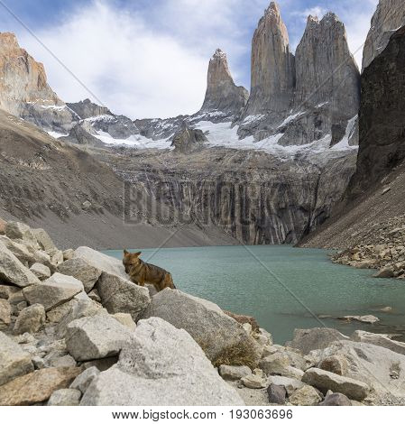 Andean fox at Torres del Paine national park. Patagonia. Chile