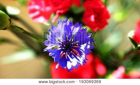 Flower field bluebottle, cornflower, modrak, sun-bathed, nature