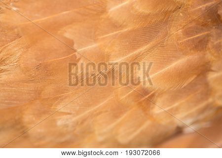 A close-up of red chicken feathers . A photo