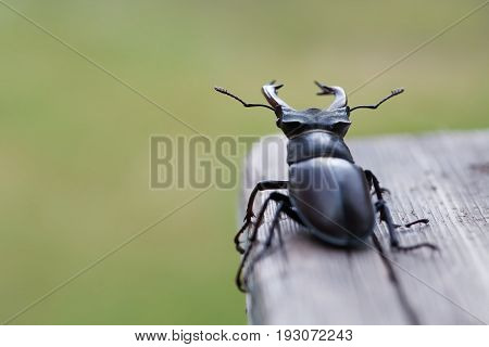 Stag beetle Lucanus cervus on wood. Red List rare insect macro view, shallow depth field. Selective focus photo