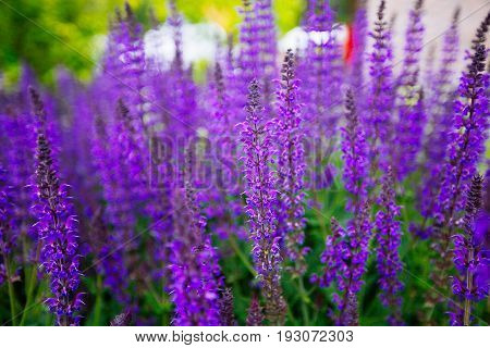 Blue Salvia (salvia Farinacea) Flowers Blooming