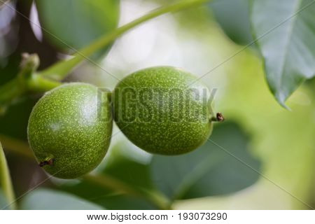 Raw circassian walnut tree branch with green leaves. Selective focus photo.