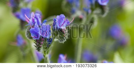 Beautiful wild flowers landscape. Poisonous plant Echium vulgare viper's bugloss and blueweed flowering plant in the borage family Boraginaceae.