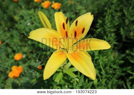 Asiatic hybrid lilium 'Pollyanna' one yellow flower and buds.