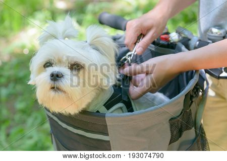 Maltese dog in the bicycle basket on a ride