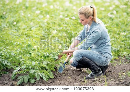 farmer working in field with potatoes. Young woman controlling growing plant
