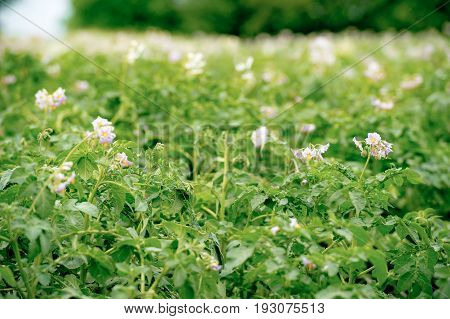 growing potatoes plant. Flowering field with potato