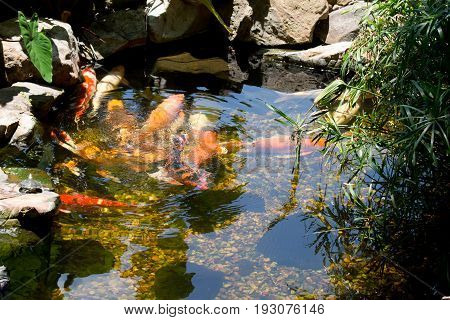 Fish in a pond feeding in the cool waters