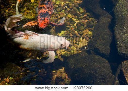 Two fish of different colors share the pond together