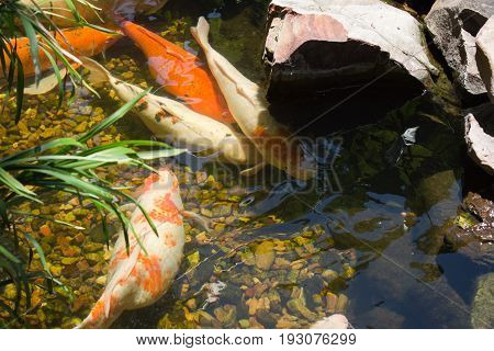 Fish in a pond enjoying a summer day