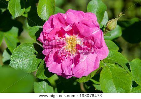 Pink rose hip flower macro, dog rose, sweet briar flower