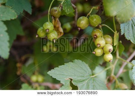 Currant On A Bush. Currant On A Bush Ripens.