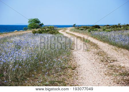 Blue flax flowers by a winding gravel road at the swedish island Oland