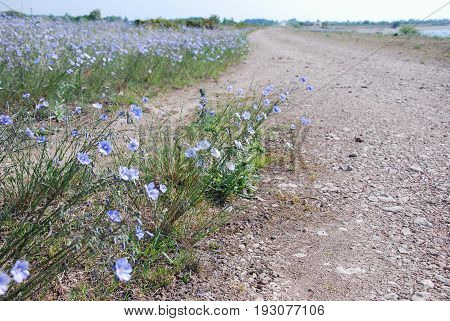 Closeup of blue flax flowers by a gravel roadside at the swedish island Oland