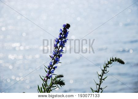 Blueweed flower in back light by reflecting water
