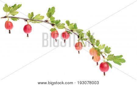 Branch with berries. Red gooseberries hanging on a bush. Isolated on white