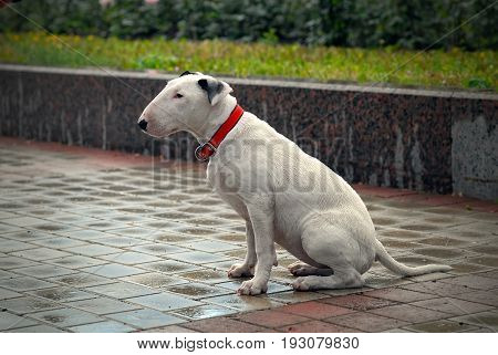 Dog Bullterrier with sad eyes is sitting on the wet road after the rain.