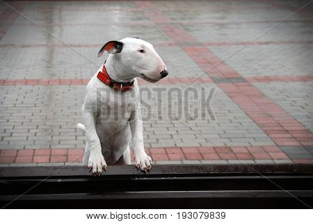 Dog Bullterrier with sad eyes on a wet bench waits for the owner