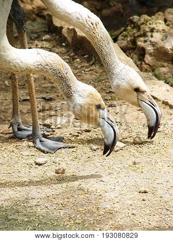 Dual synchronous dance of two flamingos in zoo