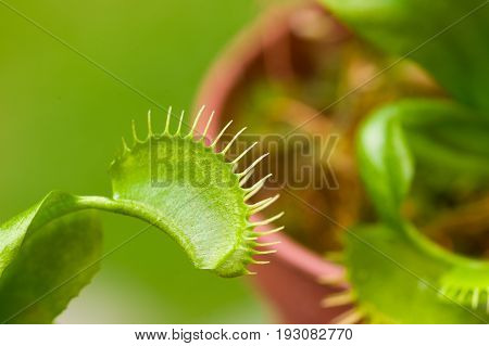 Close up of an exotic insect-eating predator flower Venus flytrap dionaea, in a blurred background.