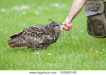Eagle owl bird of prey apparently attacking human. Biting finger at falconry display. Actually a gentle feel by this passive animal predator.