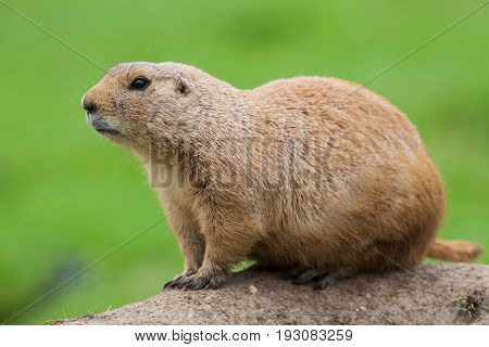 Prairie dog (Cynomys ludivicianus). Black-tailed marmot rodent in close up on earth mound isolated against plain green background. Cute animal related to the ground squirrel and chipmunk.