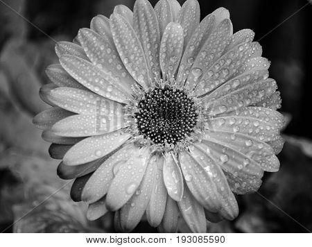 Wet Gerber Flower