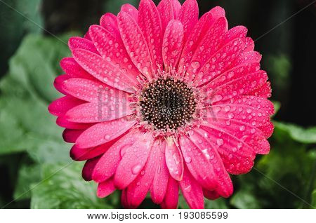 Closeup Of A Wet Gerber Flower