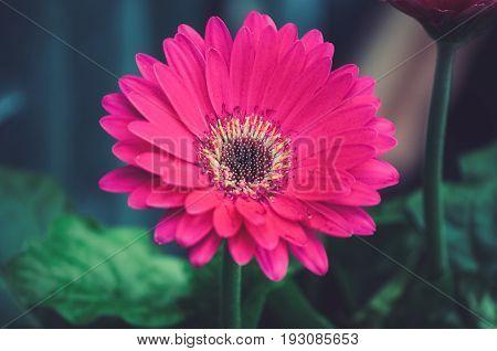 Red Gerbera Flower Head