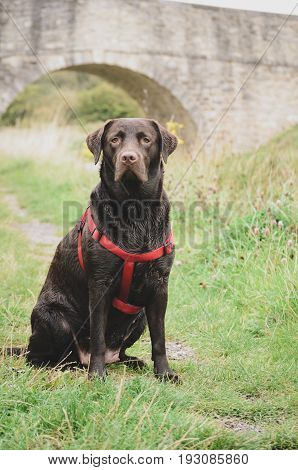 Portrait Of A Large Labrador With Harness