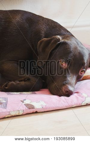 Female Chocolate Labrador Sleeping